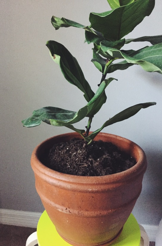 vsco cam fiddle leaf fig tree